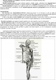 Imagine document Sistemul Muscular