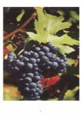 Studiu de caz privind tehnologia de obtinere a vinurilor rosii